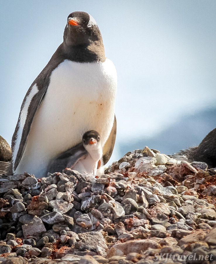 Recently hatched gentoo penguin chick. Antarctica.