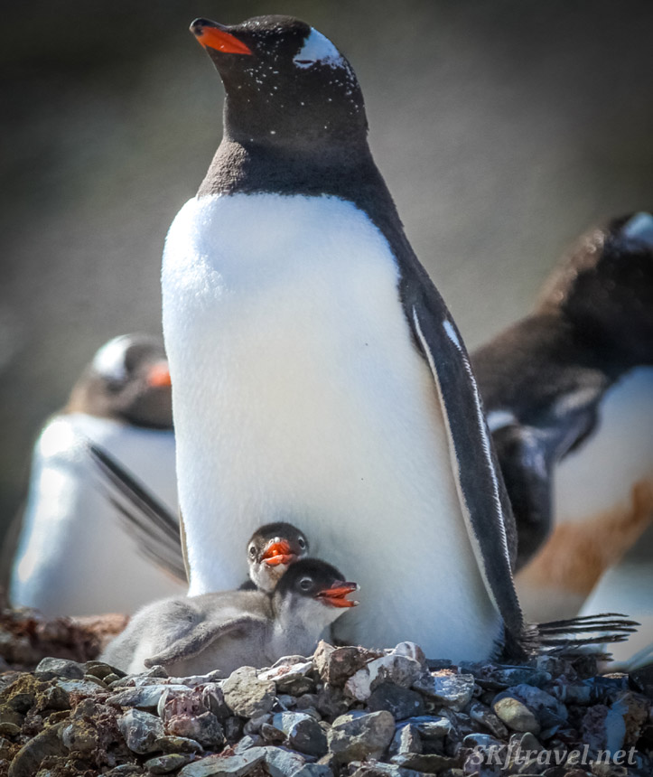 Pair of recently hatched gentoo penguin chicks. Antarctica.