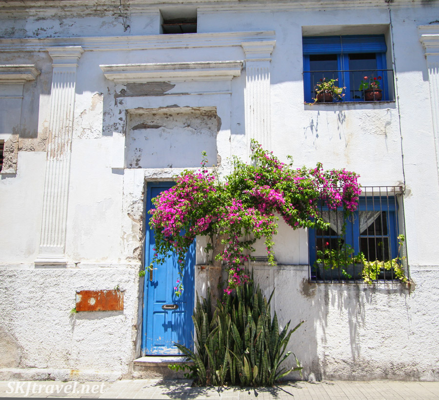 Pink flowering bougainvillea trees populate the streets of Colonia del Sacramento, Uruguay. Complements a blue door.