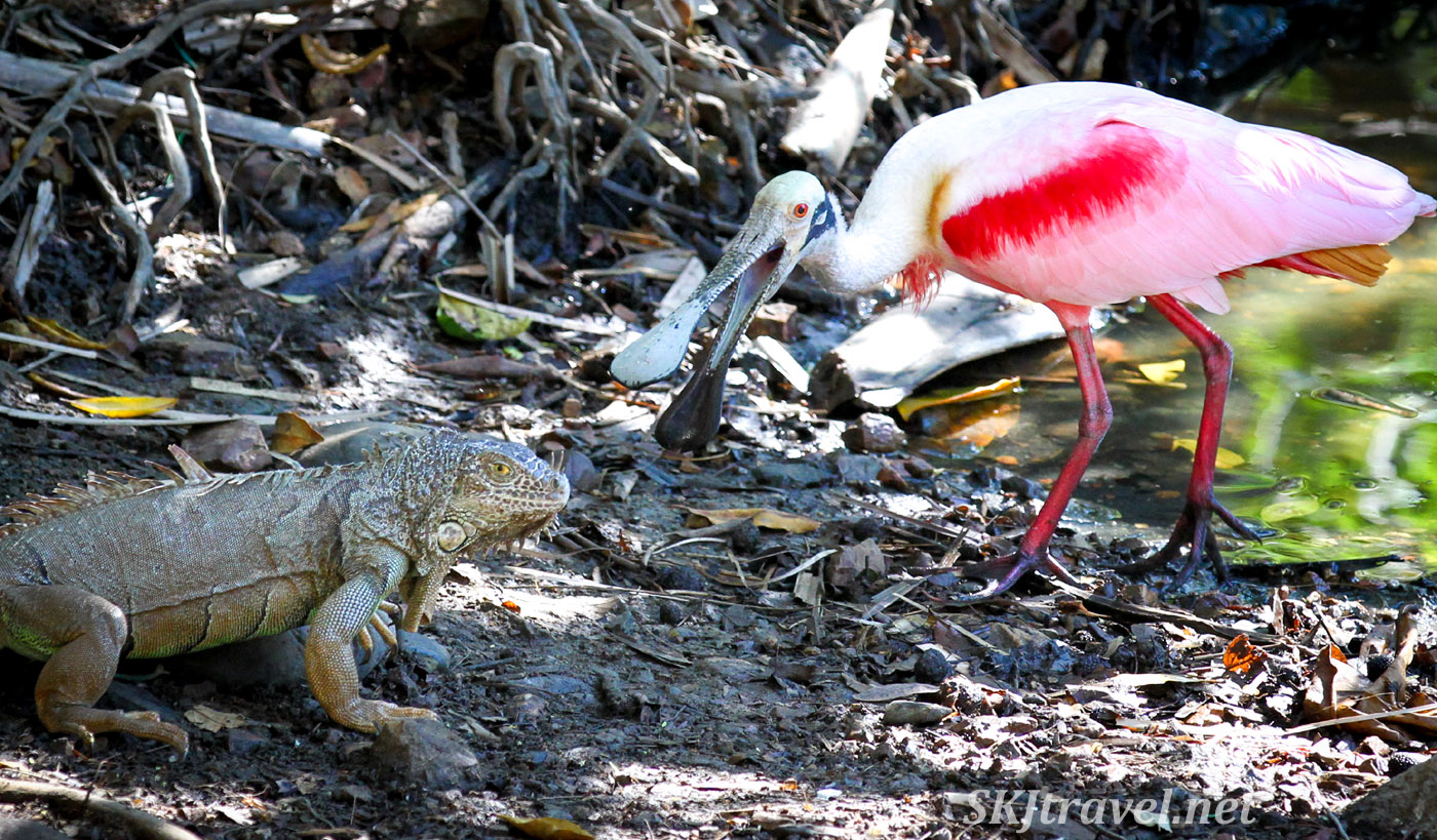 Roseate spoonbill squawking at an iguana. Popoyote Lagoon crocodile refuge, Playa Linda, Ixtapa, Mexico.