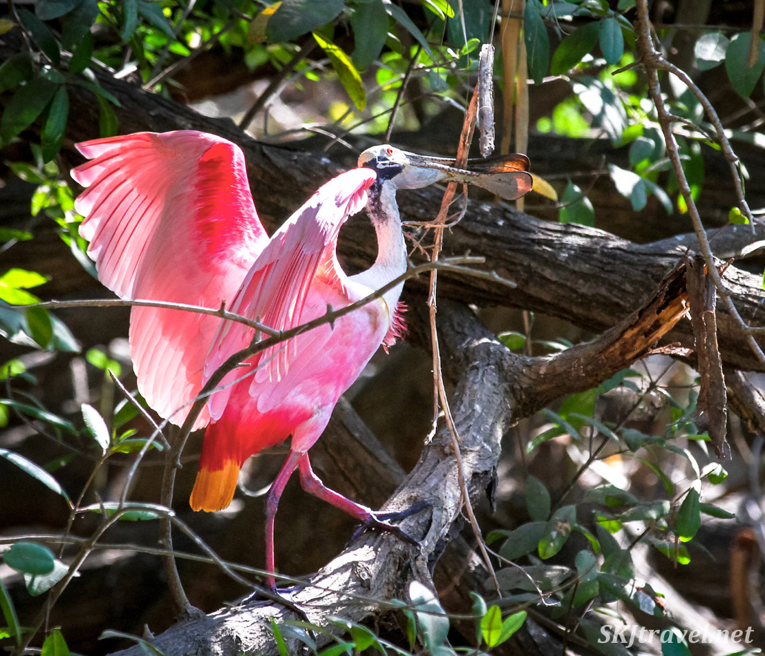 Roseate spoonbill gathering sticks for its nest, walking along a fallen branch. Popoyote Lagoon crocodile refuge, Playa Linda, Ixtapa, Mexico.