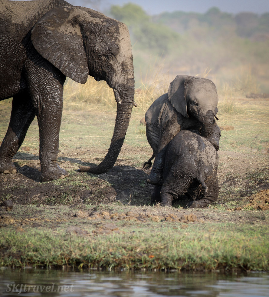 Baby elephants wrestling with each other in a mud hole on the banks of the Chobe River, Botswana.