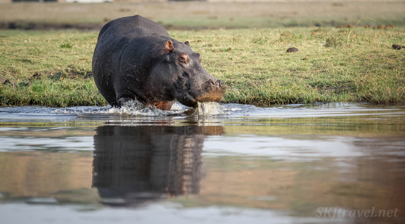 Hippopotamus wading into the Chobe River, taking water in and out of its mouth, reflection on the water. Chobe National Park, Botswana.