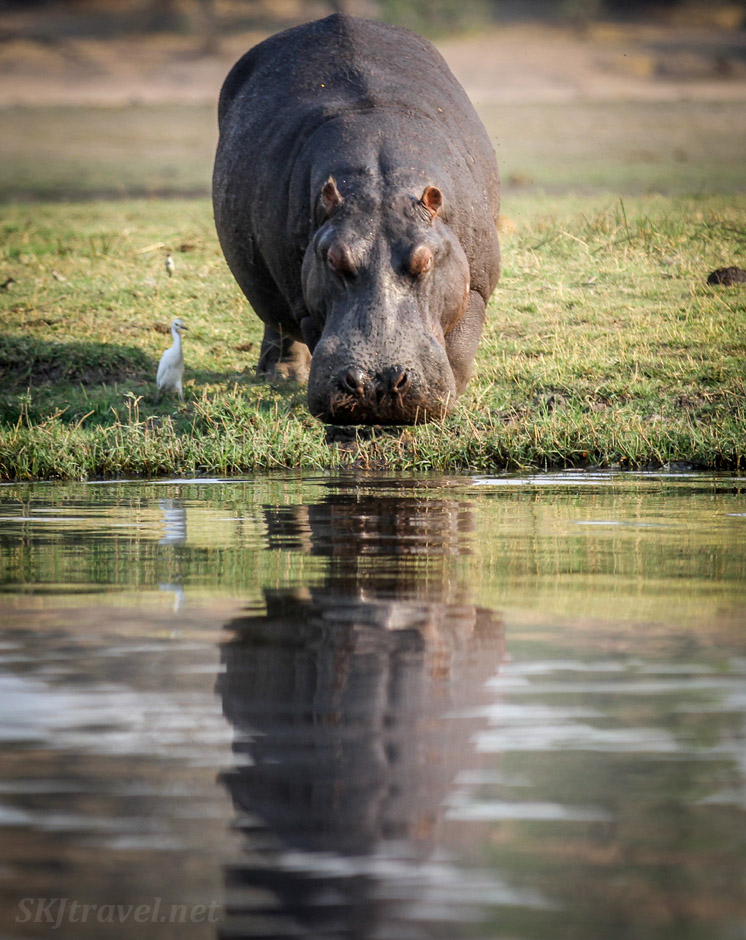 Hippo at the water's edge with reflection on the Chobe River, Botswana. His egret friend beside him.