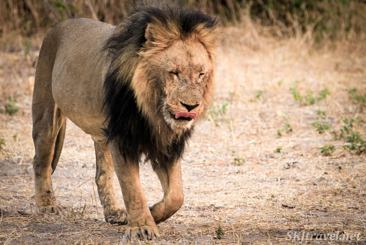 Male lion walking with his tongue out, licking his chops, Chobe, Botswana.