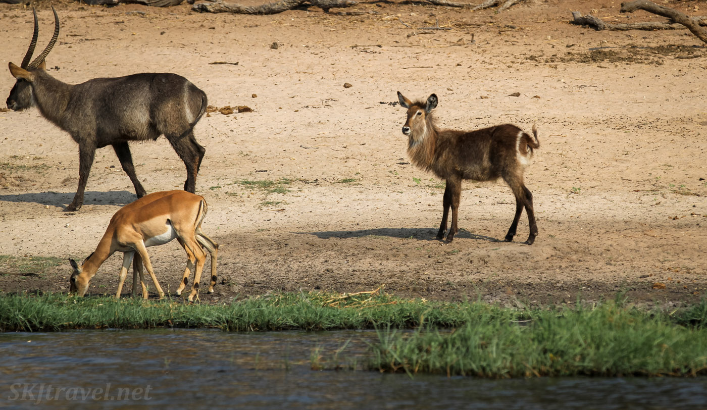 Male and female waterbuck and impala at the bank of the Chobe River, Botswana.