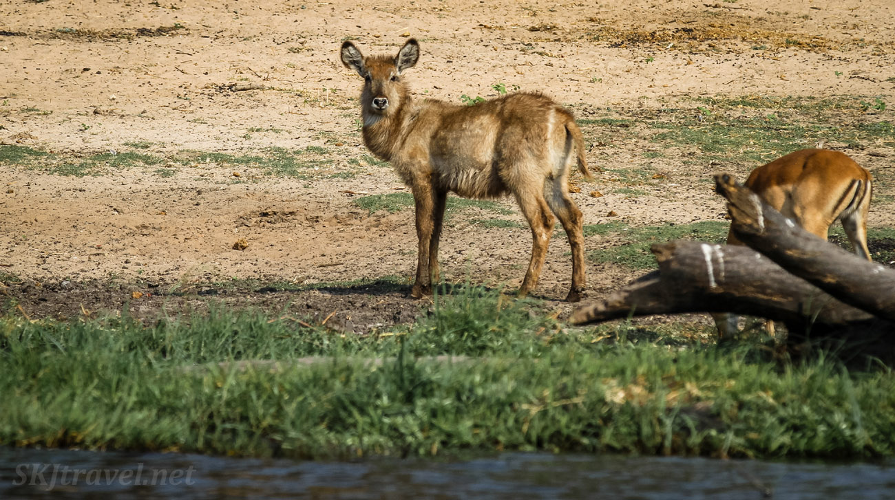 Young waterbuck standing on the bank of the Chobe River, Botswana.