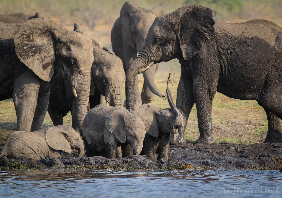 Row of baby elephants stepping into the mud along the bank of the Chobe River. Botswana.