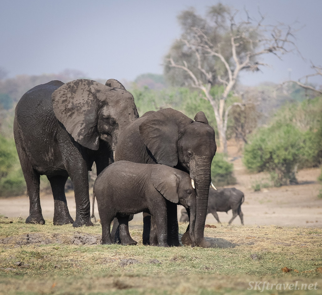 Adult, young, and baby elephant standing together on the banks of the Chobe River. Botswana.
