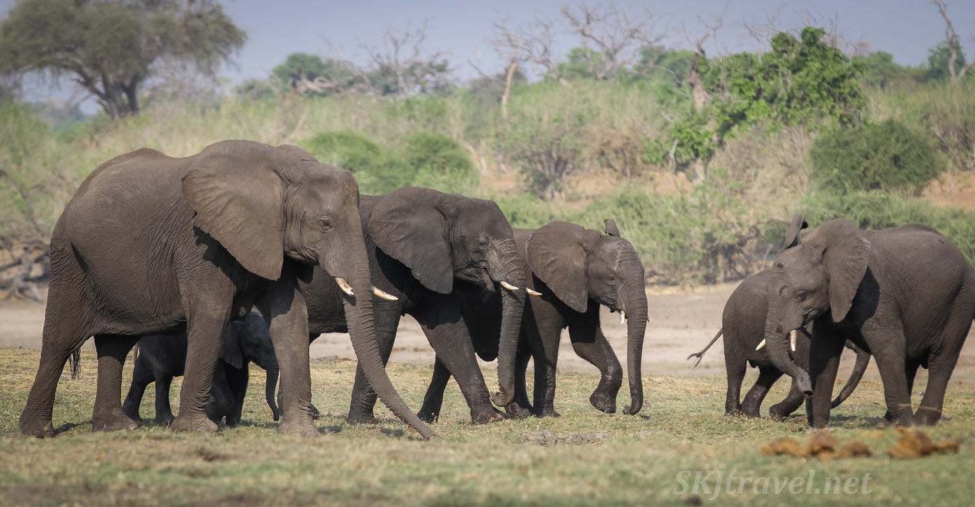 Little gangs of young elephants converge on one another. Chobe River, Botswana.