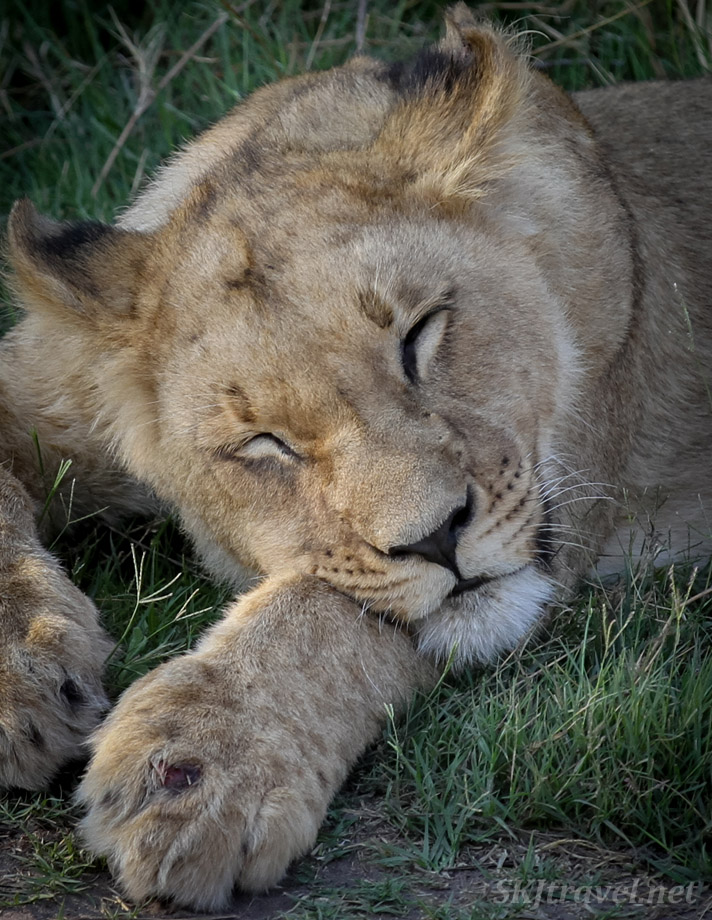 Lion cub with a small wound on its paw, napping in the shade. Khwai Concessions, Okavango Delta, Botswana.