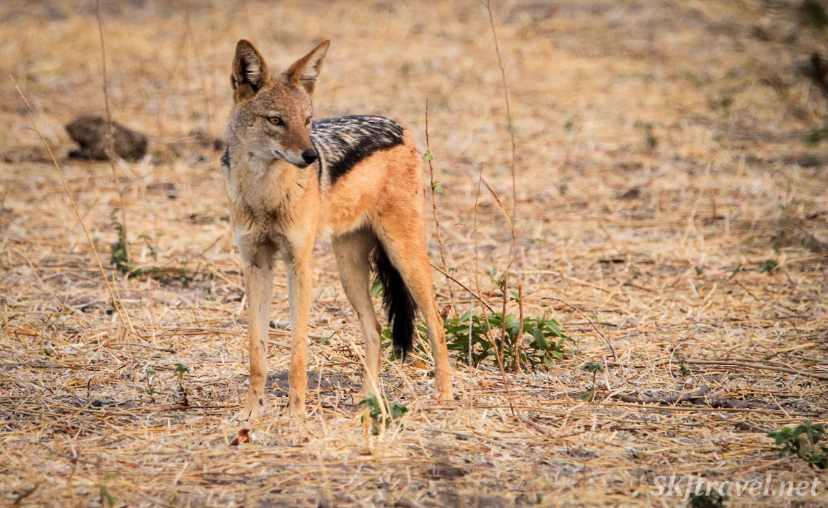 Black backed jackal waiting for lions to finish feeding on a dead lion so he can get some. Chobe National Park, Botswana.