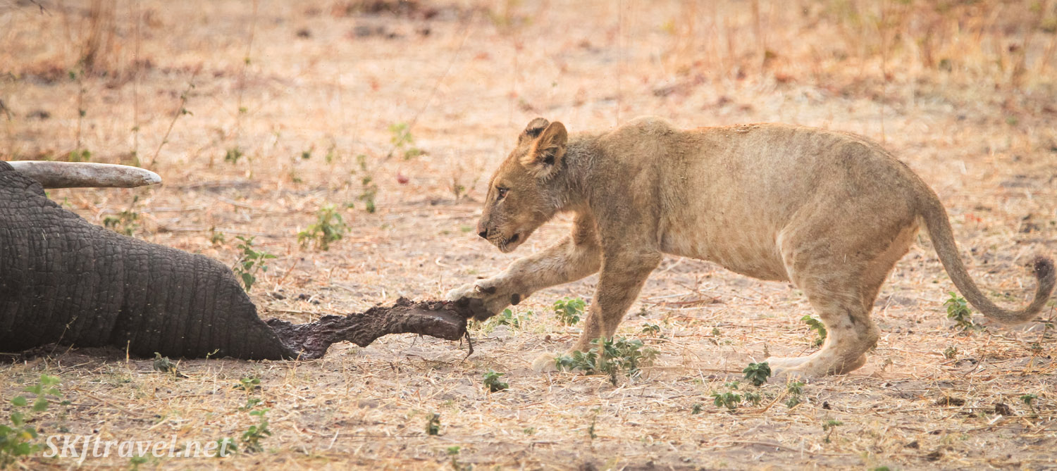 Lion cub playing with the half-eaten trunk of a dead elephant. Chobe National Park, Botswana.