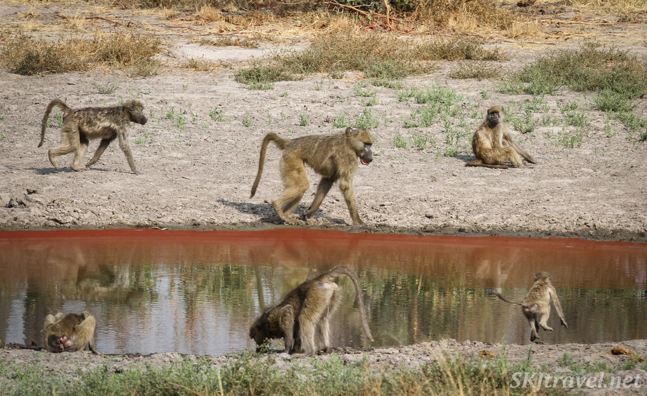Baboons skirting a pond of reddish water. Khwai Concessions, Botswana.