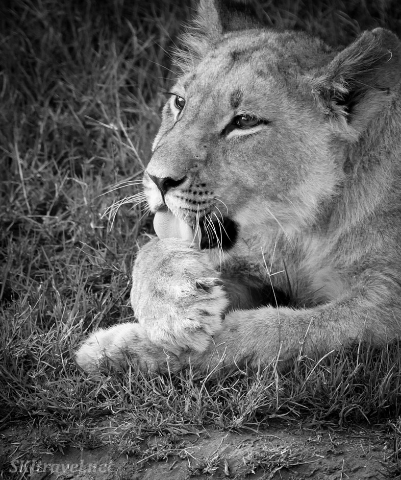 Lion cub licking his paw, Khwai Concessions, Botswana. Black and white photography.
