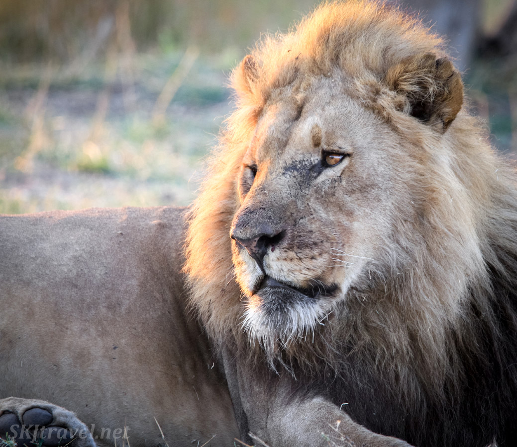 Adult male lion with a notched ear and scarred nose. Khwai Concessions, Botswana.