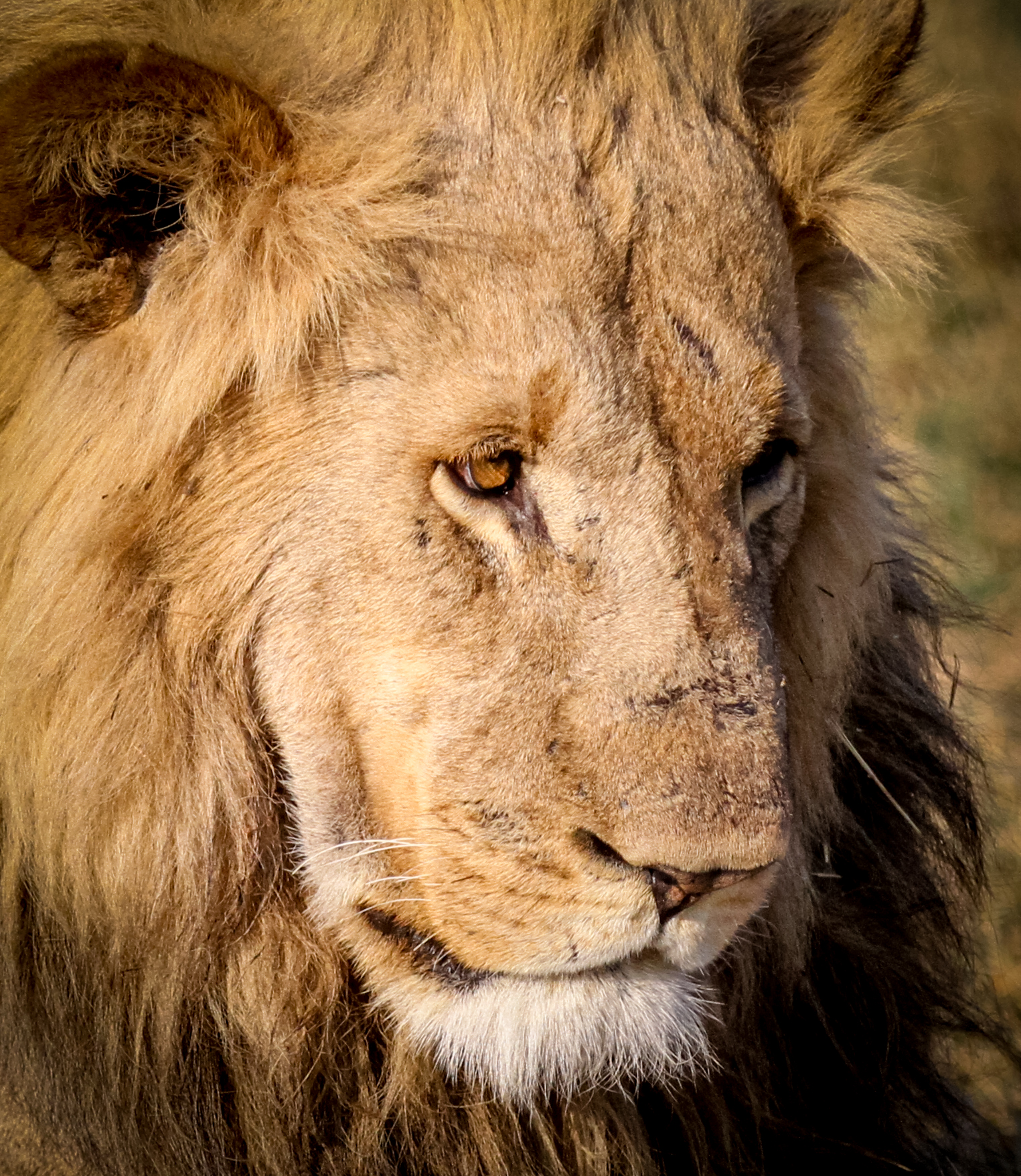 Sad looking adult male lion. Khwai Concessions, Okavango Delta, Botswana.