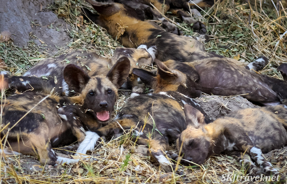 African wild dog, or painted dog, puppies sleeping beneath a tree in a puppy pile, Khwai Concessions, Botswana.