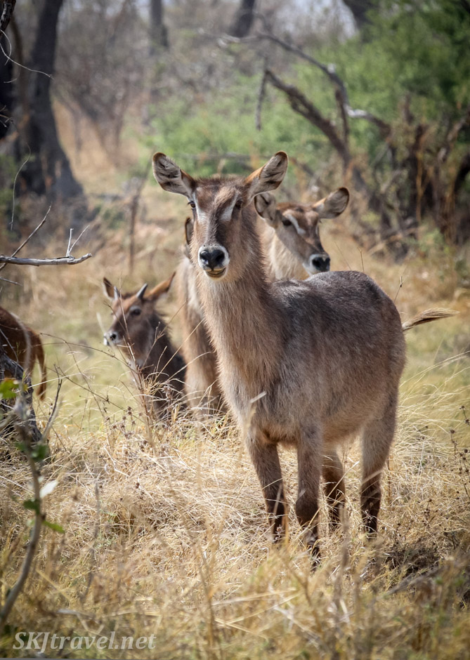 Adult female waterbuck. Khwai Concessions, Botswana.