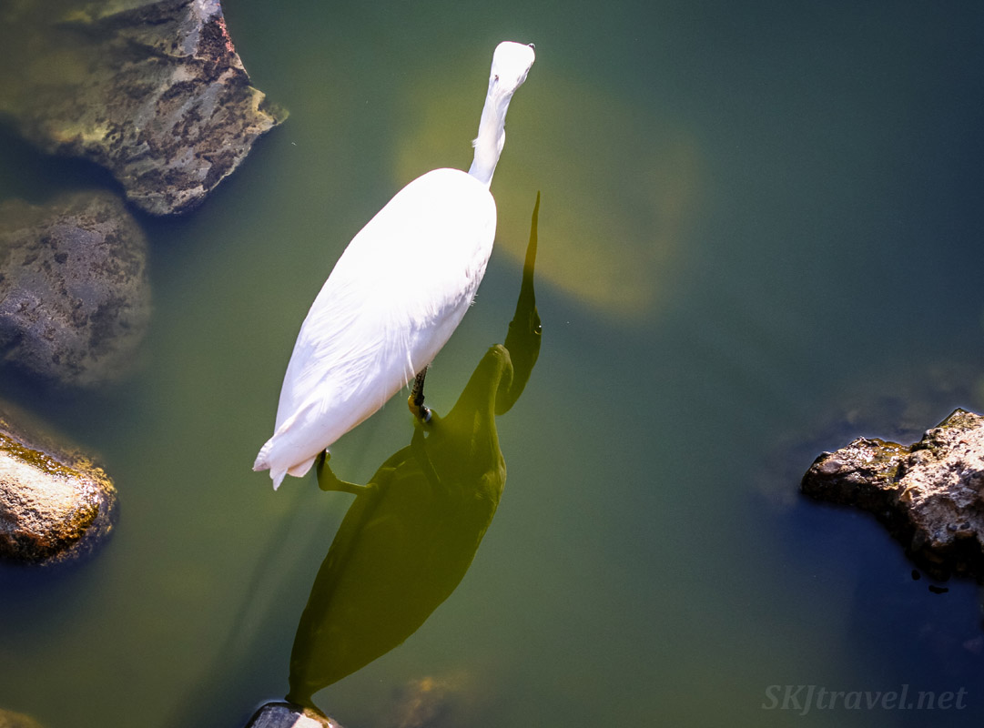 White egret and its shadow in the waters of a lagoon. Popoyote Lagoon crocodile refuge, Playa Linda, Ixtapa, Mexico.