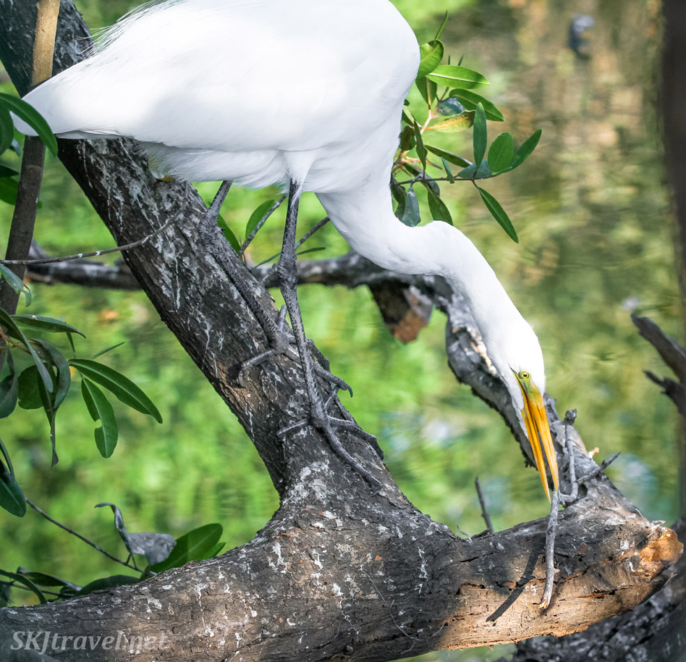White egret with a stick in its mouth, perched on a tree limb above the water. Popoyote Lagoon crocodile refuge, Playa Linda, Ixtapa, Mexico.