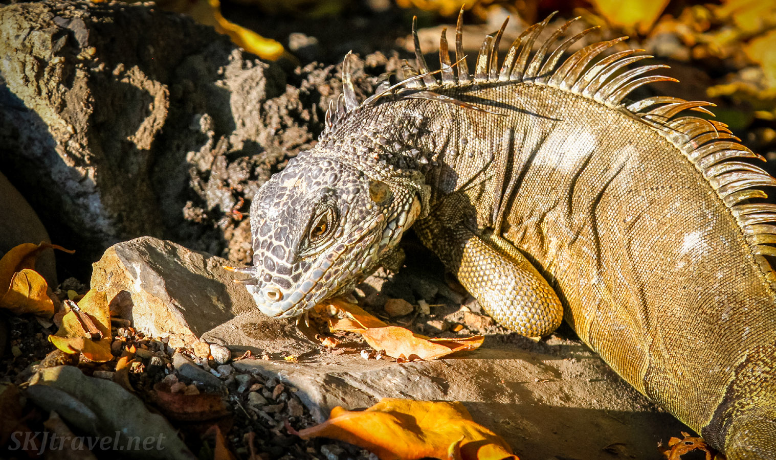 Male iguana with intense look in his eye. Popoyote Lagoon crocodile reserve, Playa Linda, Ixtapa, Mexico.