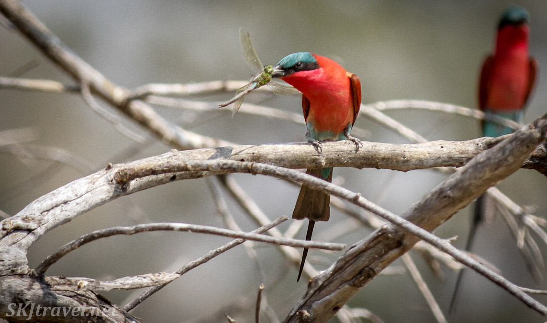 Southern carmine bee-eater perched on a tree branch dining on a dragonfly. Moremi Game Reserve, Botswana.