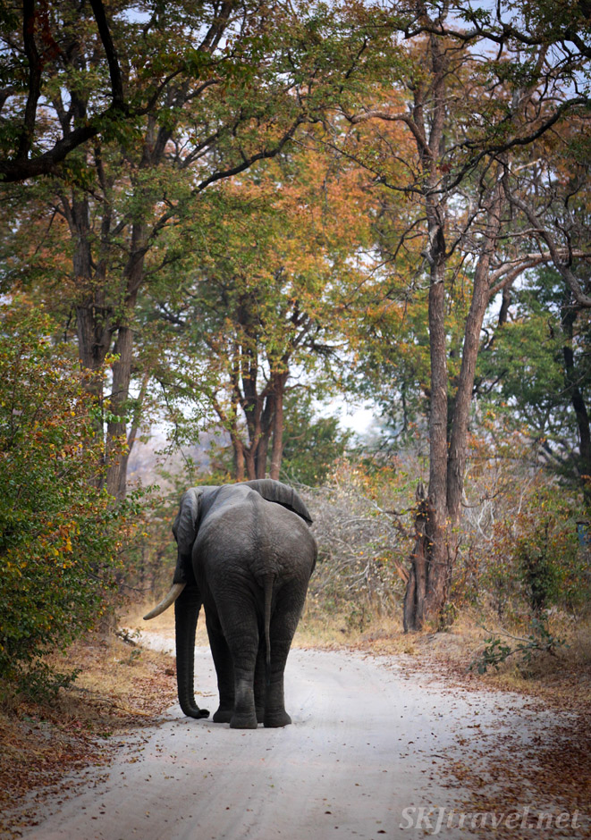 Bull elephant strolling down the vehicle path through Moremi Game Reserve, Botswana. Red and gold leaves on the trees.