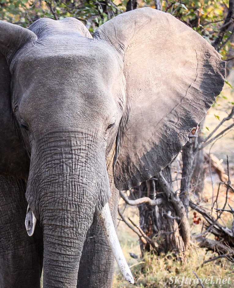 Close-up details of the ear, elephant staring at us, ears fanned out, Moremi Game Reserve, Botswana.