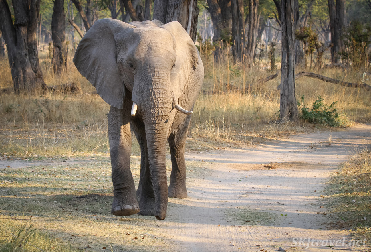Young elephant walking down the road, showing us his foot, Moremi Game Reserve, Botswana.