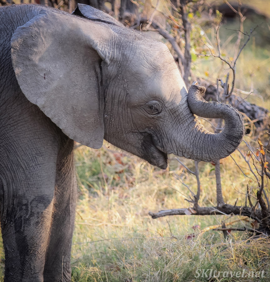 Baby elephant curling up its trunk. Moremi Game Reserve, Botswana.