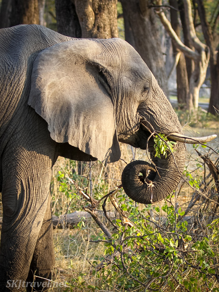 Elephant munching his way through some woodland forest in Moremi Game Reserve, Botswana. Trunk curled.