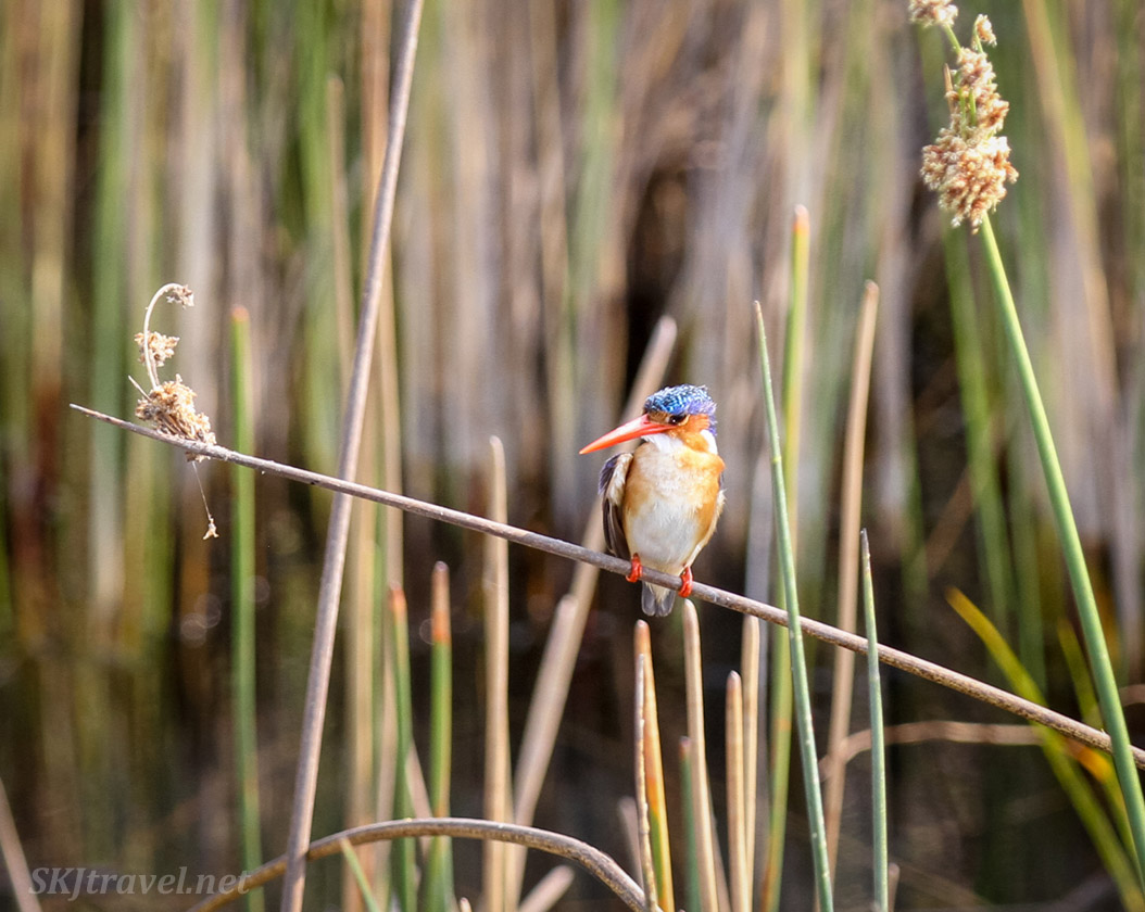 Malachite kingfisher perched on a tall blade of marsh grass, Moremi Game Reserve, Botswana.