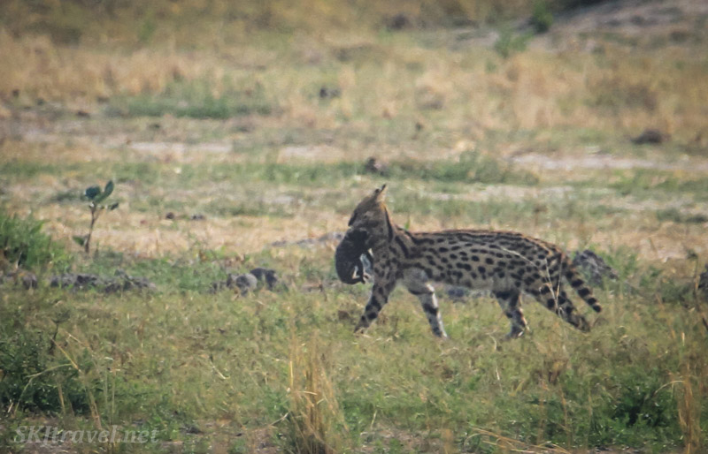 Mother serval carrying a kitten in her mouth quickly across a plain, Moremi Game Reserve, Okavango Delta, Botswana.