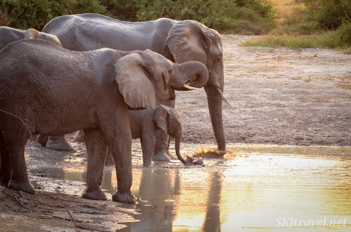 Elephant family drinking at a water hole at sunset, Savuti, Botswana.