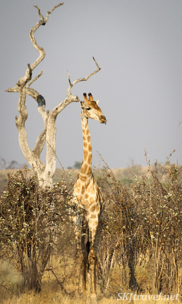 Giraffe standing next to a bare tree in tall brown bushes. Savuti, Botswana.