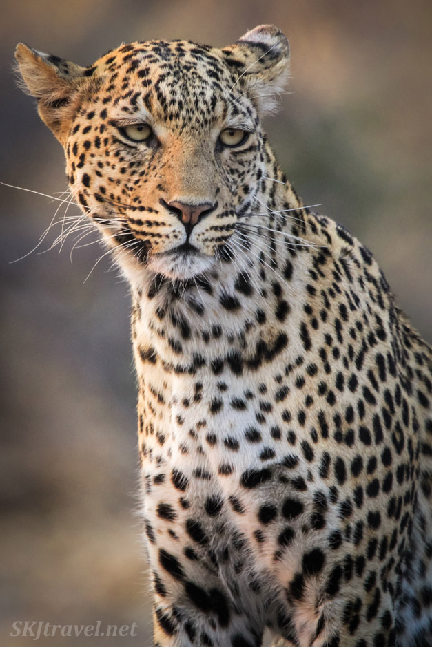 Leopard (leopardess) scoping out breakfast, Savuti, Botswana.