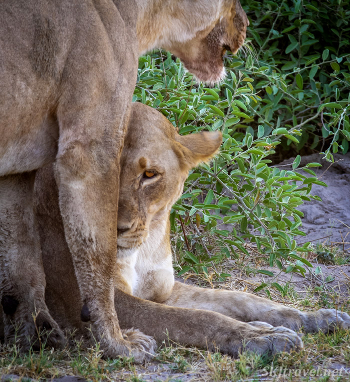 Lionesses seeking shade in the bushes, Chobe, Okavango Delta, Botswana.