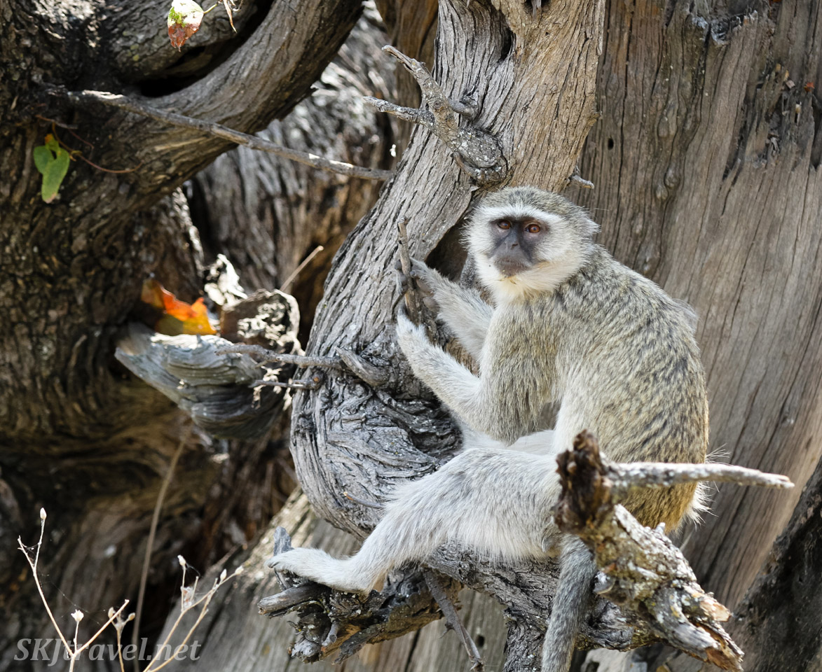 Vervet monkey in the shade of a tree, mid-day. Moremi, Okavango Delta, Botswana.