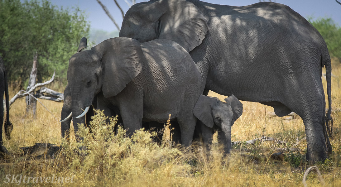 Small elephant family grazing in the shade of a tree. Savuti, Okavango Delta, Botswana.