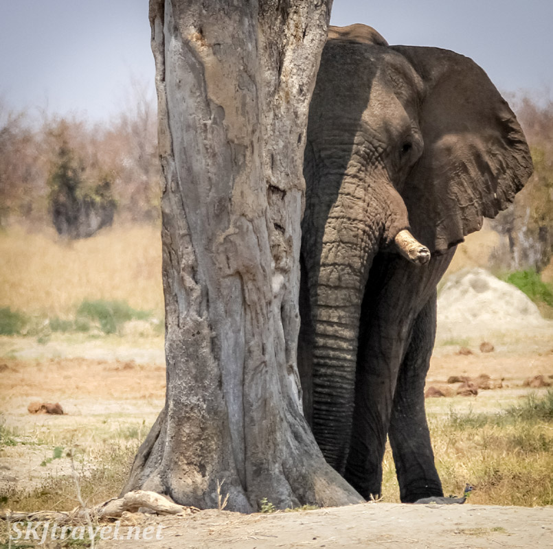Lone elephant trying to find relief from the sun behind a slim tree. Savuti, Okavango Delta, Botswana.