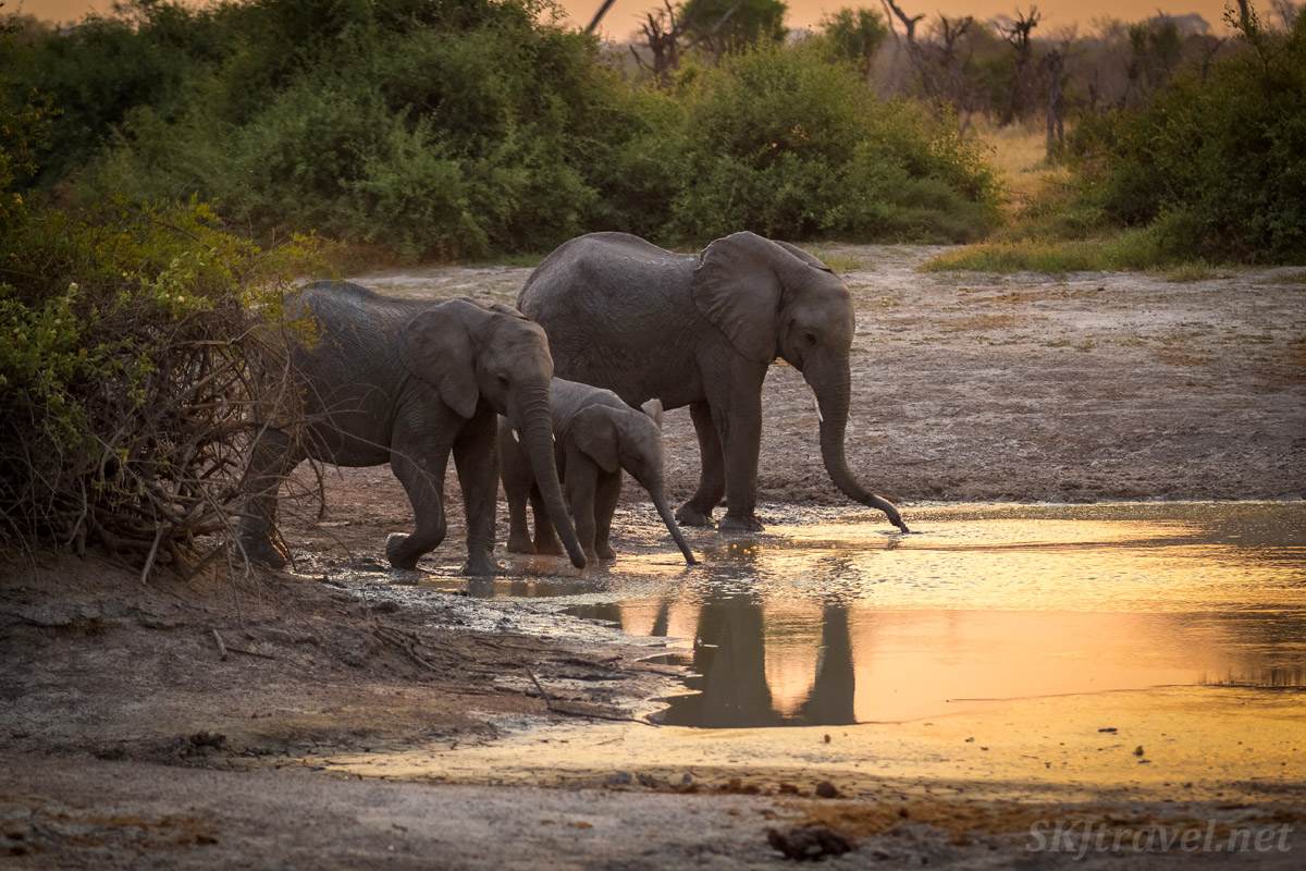 Small elephant family drinking at a golden water hole as the sun sets in Savuti, Okavango Delta, Botswana.