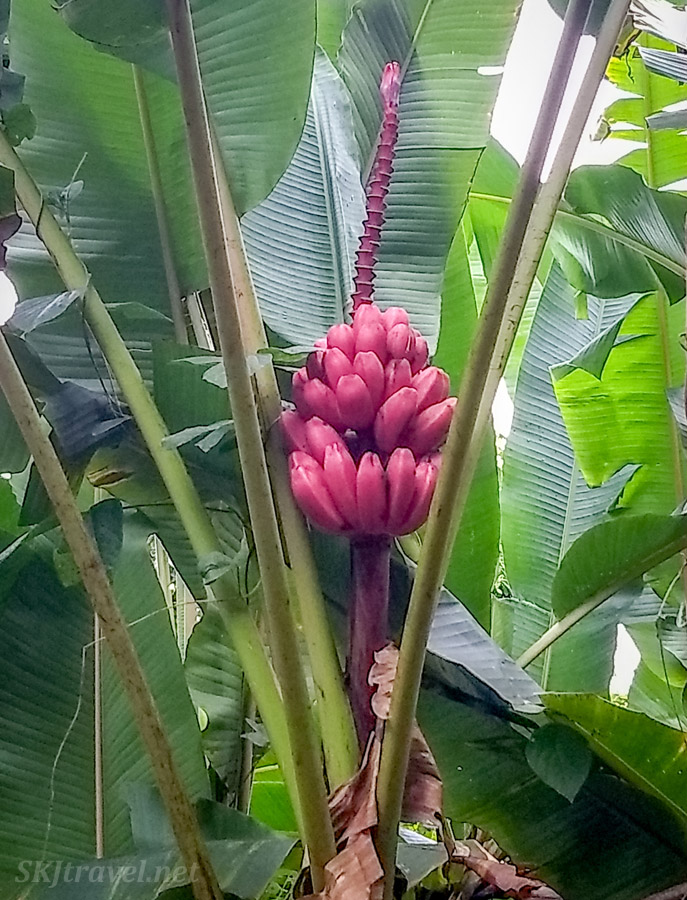 Pink bananas along the Bogarin Trail, La Fortuna, Costa Rica.