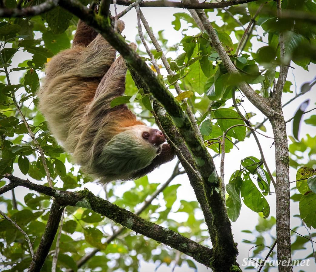 Two toed sloth racing through the trees along the Bogarin Trail, La Fortuna, Costa Rica.