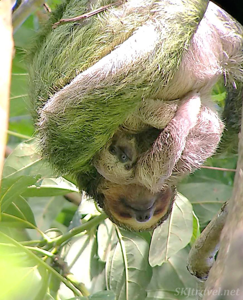 Female three toed sloth and baby nestled against her. Hanging upside down in the rainforest outside La Fortuna, Costa Rica.