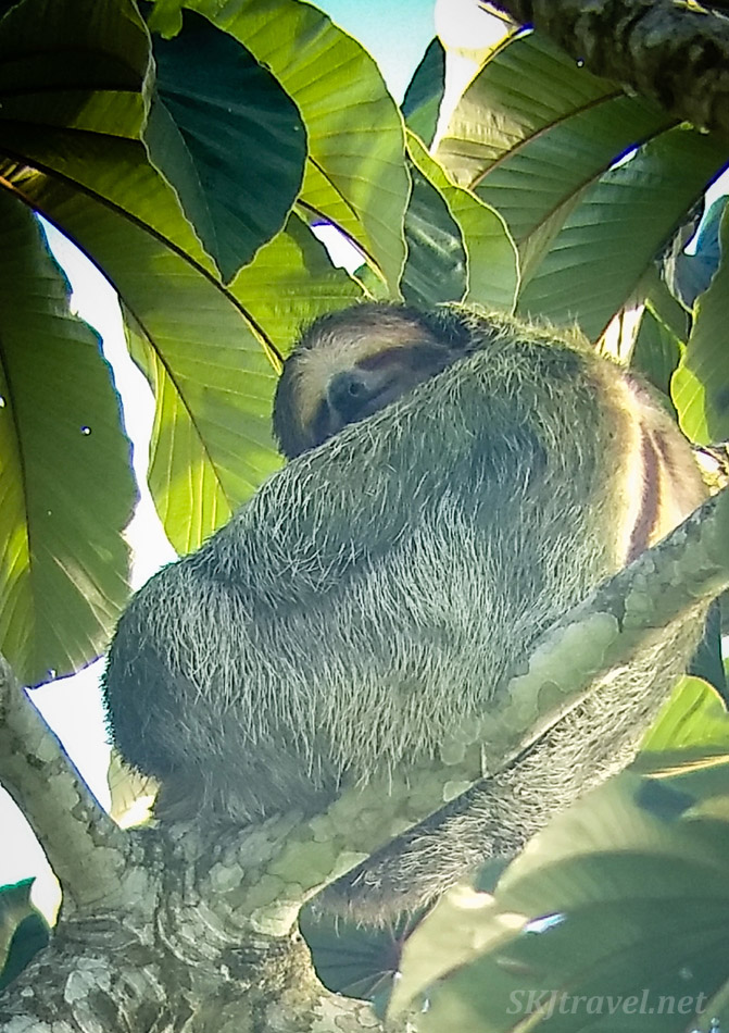 Male three toed sloth high in a tree outside La Fortuna, Costa Rica.