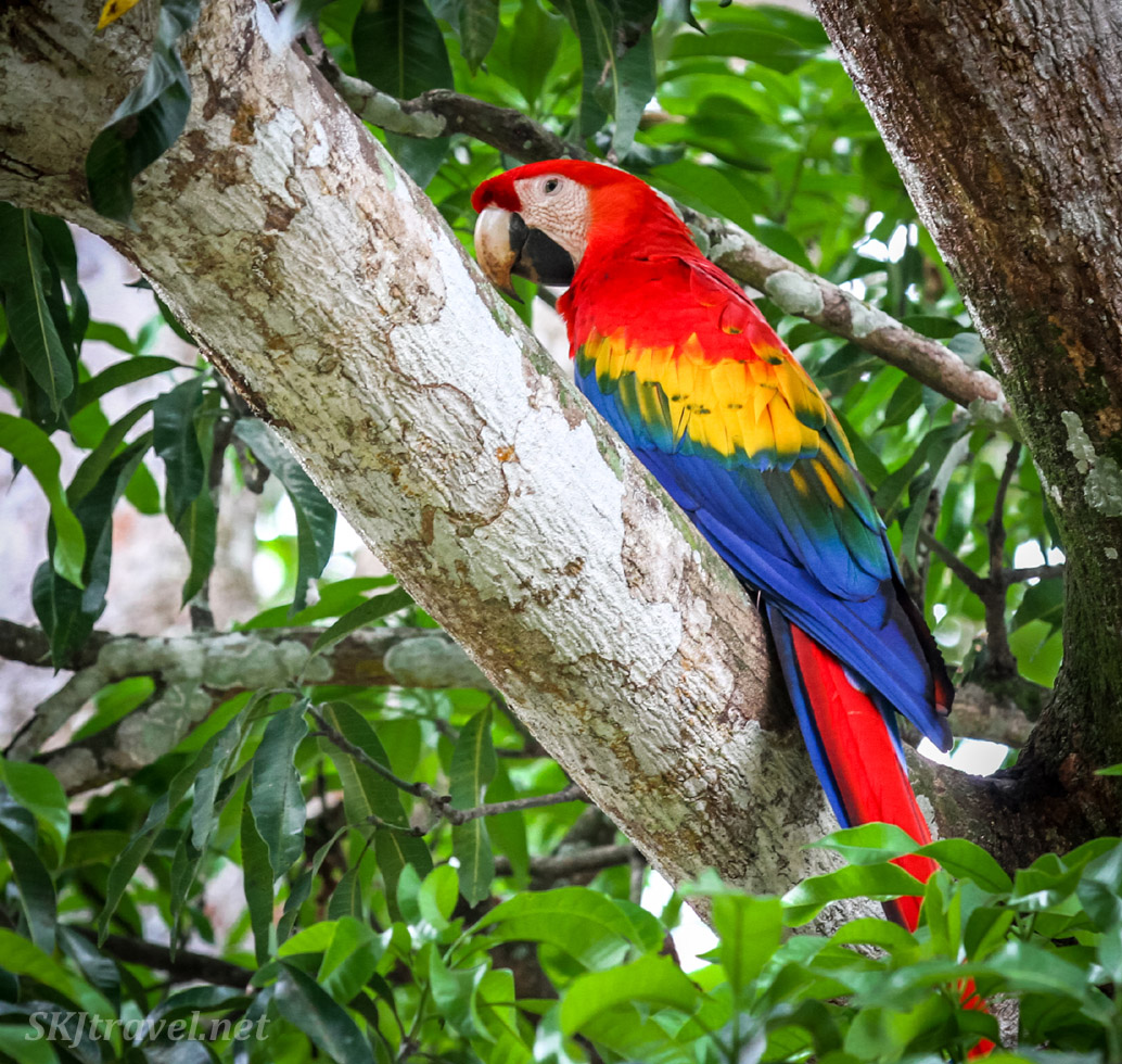 Scarlet macaw in a tree at a shuttle bus transfer area, Costa Rica.