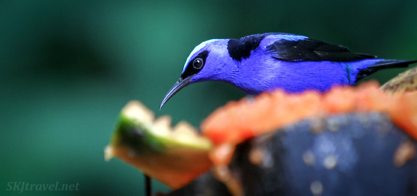 Red legged honeycreeper eating fruit. La Fortuna, Costa Rica.