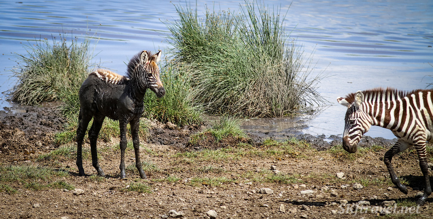 Mud covered baby zebra standing alone by the water, looking for its mom. Ndutu, Tanzania.