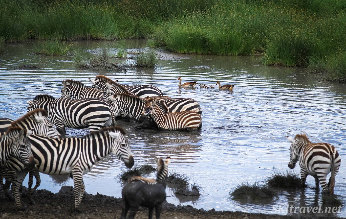 Zebras in the water, ducks swimming in the background. Baby zebra looking for its mom. Ndutu, Tanzania.